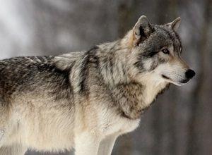 fabula-lobo
