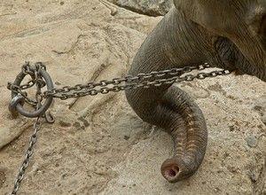 el-elefante-encadenado