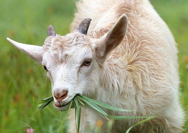 cabras para cortar el cesped